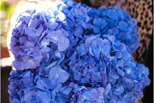 Blue hydrangeas lubbock florist